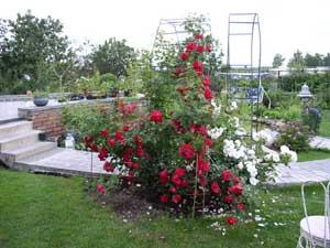 Розарій - насадження кущів троянд