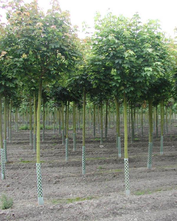 Насадження дерев